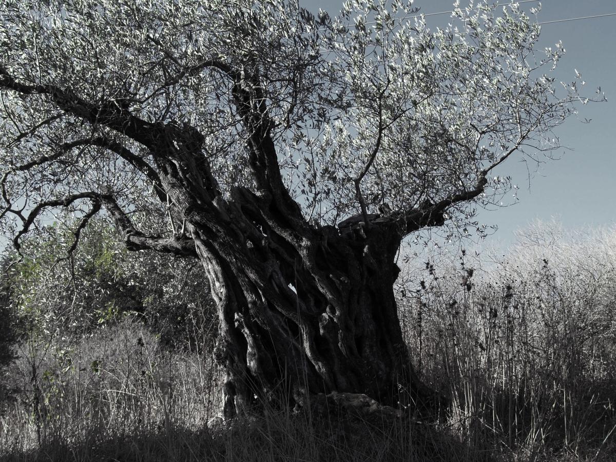 Λιομαζώματα,  αιωνόβια ελιά από τον ελαιώνα του Κλεόβουλου του Λίνδιου στο Βάτι της νότιας Ρόδου.