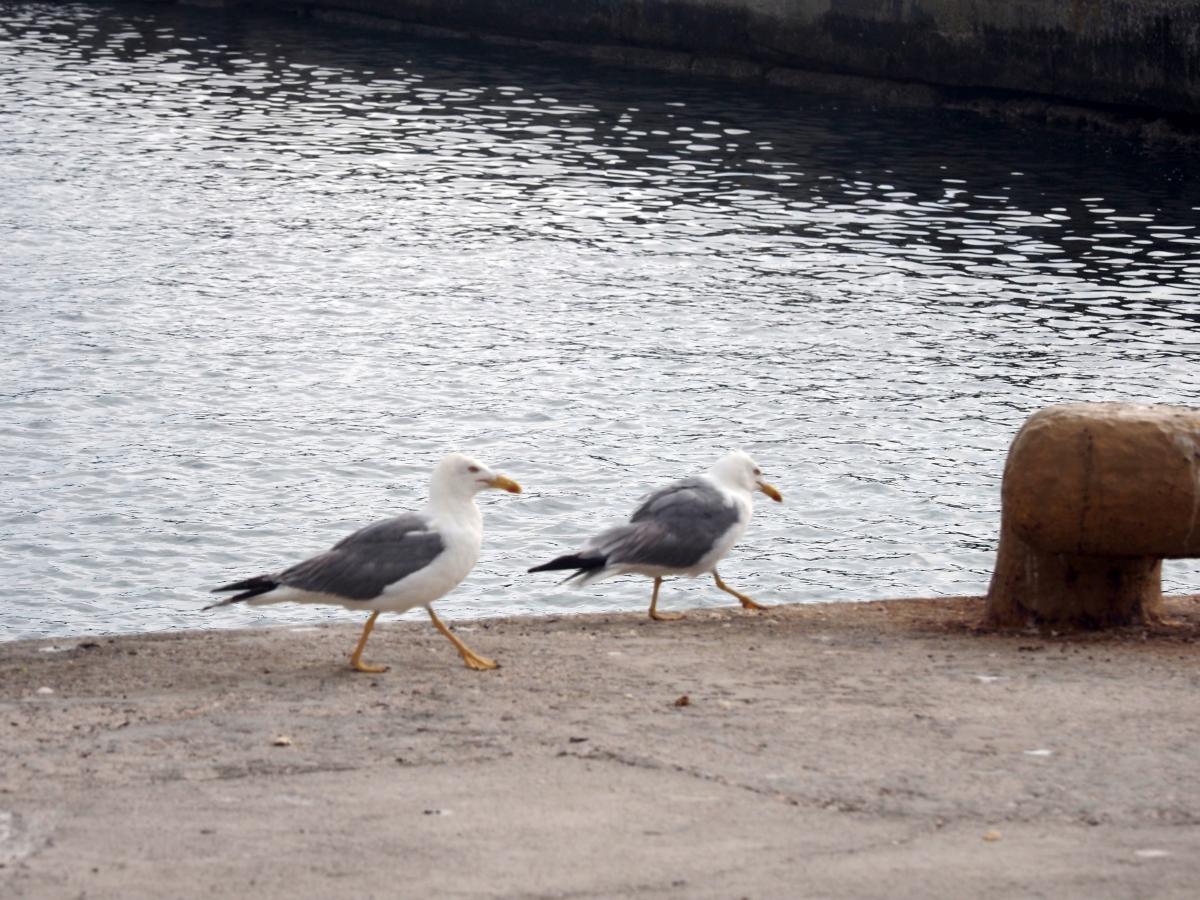 Περιμένοντας τα καΐκια να επιστρέψουν από το ψάρεμα. Γλάροι στο λιμάνι της Μπούκας στην Κάσο.