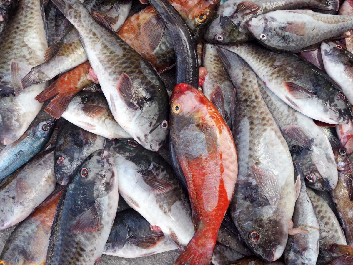 Η ψαριά των καϊκιών απλωμένη στο μουράγιο. Σκάροι κόκκινοι, άσπροι και καφέ.